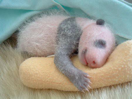 862109853 e9f9de8826 Newly Born Pandas