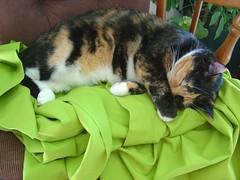 Lily is sleeping (neshachan) Tags: sleeping cats cat feline lily kitty calico kitties felines calicocat kittycat calicokitty misslily