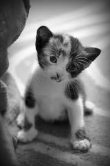 Baby Maya - by fofurasfelinas