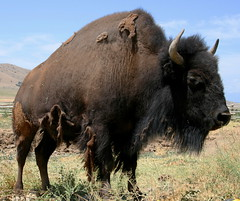 american buffalo (Schooksonruss) Tags: buffalo searchthebest explore bison americanbuffalo supershot ultimateshot schooksonruss diamondclassphotographer flickrdiamond russstokes searchandreward onlythebestare