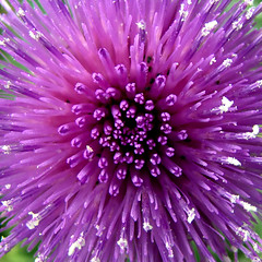 Thistle Bomb - by ecstaticist