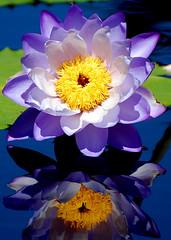 Hardy Waterlily - by Manjith Kainickara
