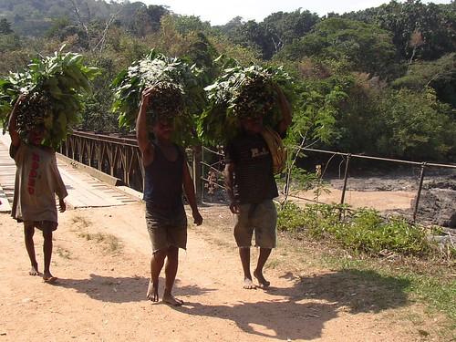 carrying forage to okapi
