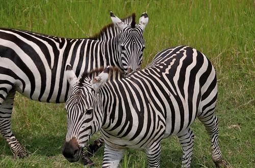 zebra-pair