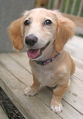 Happy (Doxieone) Tags: dog cute english puppy long cream dachshund honey blonde pup haired pup1 mostpopular coll ggg longhaired honeydog englishcream honeyset