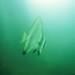 Longfinned Batfish