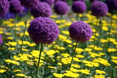 Lollipops (Modo Frodo's Cabinet of Curiosities) Tags: flowers nc dukegardens springtime sarahpdukegardens