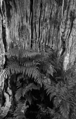 In the old oak (Skink74) Tags: uk england blackandwhite bw plants tree film 35mm dead mono oak hampshire trunk 135 ferns rodinal ilford newforest hollow hp5plus canon3580f456 1000f canoneos1000f mogshadehill ef3580mmf456