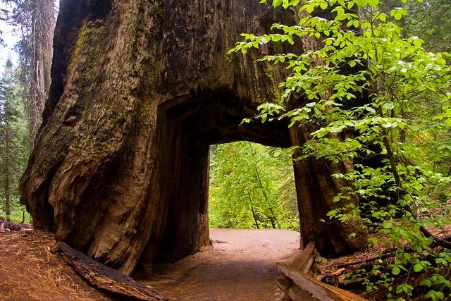 [趣闻] 世界遗产红杉林 形形色色树隧道(15P) - 路人@行者 - 路人@行者
