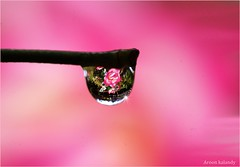 The world in a drop....Today is my son Rajat's Birthday. (aroon_kalandy) Tags: pink light india macro beautiful beauty creativity photography lights drops asia photographer adobephotoshop artistic sony awesome kerala fantasy concept lovely waterdrops majestic rajat naturelovers calicut kozhikode topshots beautifulshot waterdropsmacro anawesomeshot photoscape sonydslra200 aroonkalandy tamronspaf90mmf28dimacrolens