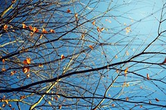 Tangled Up In Blue (~Minnea~) Tags: blue tree fall dof natureycrap 35mm18 nikond90 gimp268