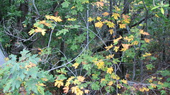 Fall Colors - Swarm of Yellow Leaves
