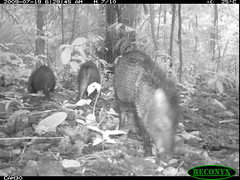 Collared Peccary (siwild) Tags: pigs collaredpeccary bci pecaritajacu taxonomy:common=collaredpeccary geo:lon=9157735 taxonomy:group=pigs sequence:index=97 siwild:study=fruitingpalmtrees siwild:studyId=panapalm siwild:plot=25 siwild:location=1854 siwild:camDeploy=1332 taxonomy:species=pecaritajacu siwild:Rank=0 geo:locality=panama sequence:id=36410 sequence:length=150 siwild:trigger=78321 siwild:date=200907190629000 siwild:imageid=766931 file:name=img7411jpg file:path=dpicsrunsattamammalsvplot3c1img7411jpg siwild:species=22 siwild:region=panama geo:lat=79849307 sequence:key=75 BR:batch=sla0620101221115421 BR:batch=sla0620101221115654