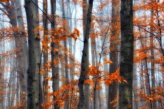 Trees Through the Fog - FP Explore