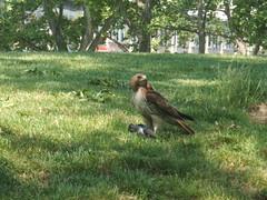 cruel pretty (petit hiboux) Tags: brooklyn death wildlife sunsetpark redtailedhawk predators citybirds bestof2007