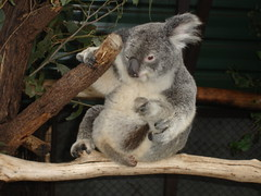 Lone Pine Koalas8