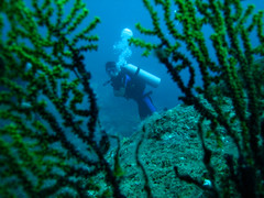 Diver within Sea Fan