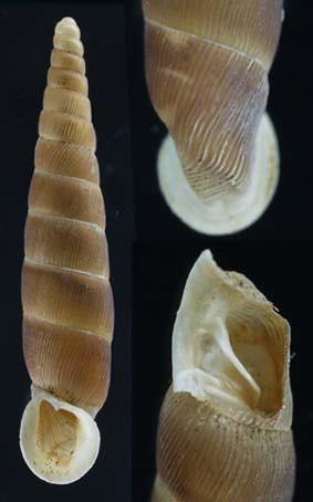 Idyla aydinensis holotype & paratype