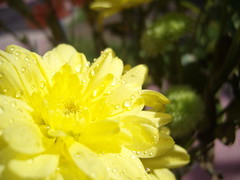 Yellow (CaptiveInnocencePhotography) Tags: flower macro water sunshine yellow beads droplets petals bright excellentphotographerawards