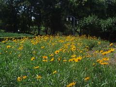 P7193816 (liangjinjian) Tags: china park summer plant flower nature yellow beijing olympus 北京 中国 2007 changping u750