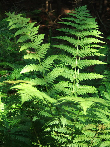 Ferns in the park at Hopewell Rocks, New Brunswick