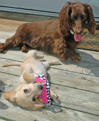 Honey and her new purse (Doxieone) Tags: dog cute english puppy long cream dachshund honey blonde haired pup1 coll longhaired honeydog englishcream honeyset