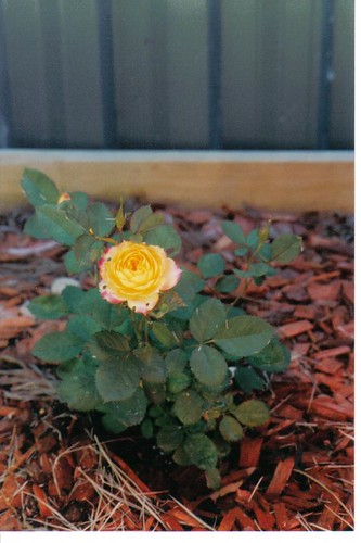 2005 - Rose In My Garden.jpg