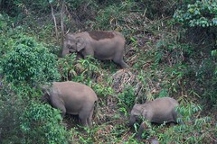 Wild Elephants in Munnar Valley (Kaippally:) Tags: wild munnar  elephpants