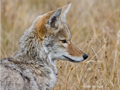 Coyote (Jim Scarff) Tags: coyote canislatrans