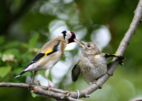American goldfinch baby - photo#22