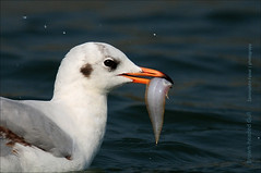 Brown-headed Gull (Chroicocephalus brunnicephalus) (Z.Faisal) Tags: bird nature nikon gull beak feathers aves nikkor bangladesh avian bipedal bangla faisal d300 zamir brownheaded pakhi endothermic nikkor300mmf4 brownheadedgull larusbrunnicephalus zamiruddin zamiruddinfaisal chroicocephalus chroicocephalusbrunnicephalus zfaisal gongakoitar gangchil brunnicephalus khoiramathagangchil khoiramatha bodorkoitar gangbodor