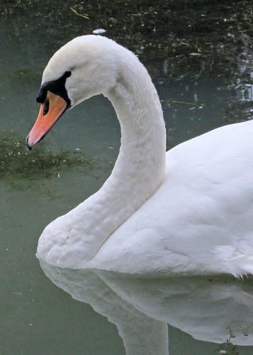 Bob the Swan