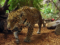 Jaguar (Joachim S. Mller) Tags: fab espaa animal cat mammal zoo spain kanaren canarias tenerife blogged katze jaguar panther teneriffa canaryislands spanien tier espania jesters islascanarias moo2 panter loroparque geburtstagskarte panthera kanarischeinseln naturesfinest groskatze sugetier pantheraonca loropark interestingness484 i500 moocard specanimal verwendet abigfave superbmasterpiece diamondclassphotographer flickrdiamond tumblr lschmich lschmich2 lschmich3 lschmich4 lschmich5 lschmich6 lschmich7 itsazoooutthere lschmich8 behaltmich lschmich10 behaltmich2 behaltmich3 lschmich9 flickrbigcats gettyrequested onetoonecontestwinner