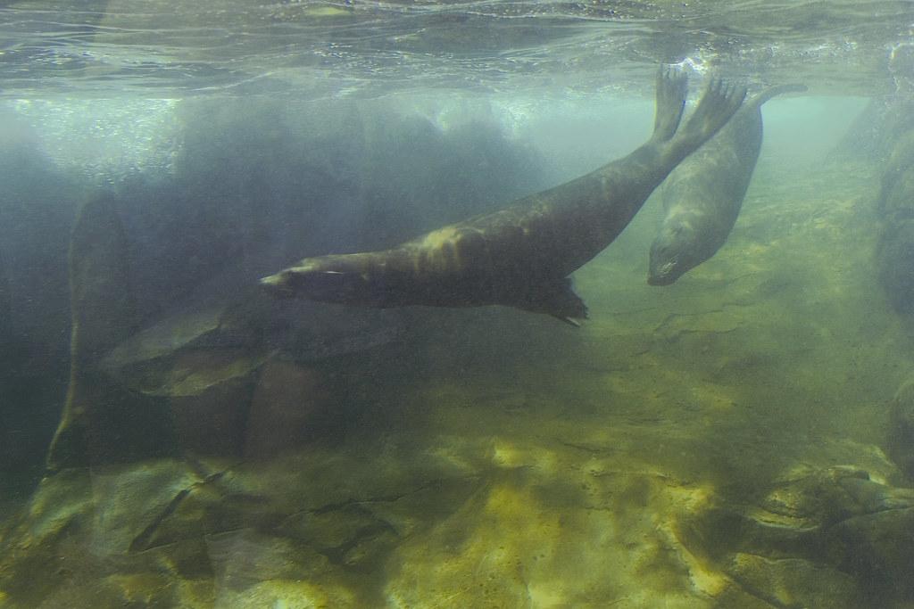 sea lions ©2007 RosebudPenfold