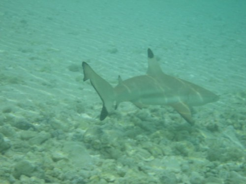 Shark, Makemo