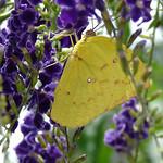 Butterfly/flutterby