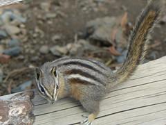 Chipmunk on Mt. Howard