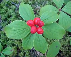 Cornus canadensis - Bunchberry (trilobitologist) Tags: plants alberta wildflowers boreal