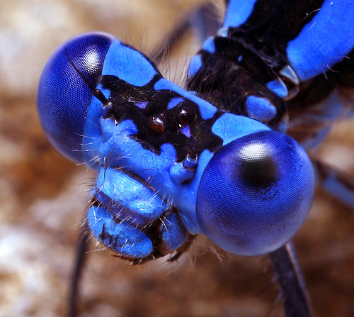 Damsel Fly Head - (Argia vivida) by Thomas Shahan.