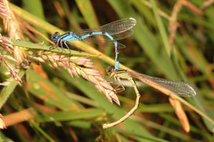 "Mating Common Blue Damselflies (Enallagma cyathigerum) • <a style=""font-size:0.8em;"" href=""http://www.flickr.com/photos/57024565@N00/714542813/"" target=""_blank"">View on Flickr</a>"