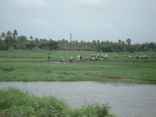Workers in one of the many rice paddies in Kerala.