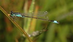 "Blue-Tailed Damselfly (Ischnura elega(8) • <a style=""font-size:0.8em;"" href=""http://www.flickr.com/photos/57024565@N00/845328786/"" target=""_blank"">View on Flickr</a>"