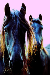 pop horses (serni) Tags: portrait horses face silhouette crossprocessed cristina fries andywarhol paarden loh frisians serni anawesomeshot corduneanu cristinacorduneanu