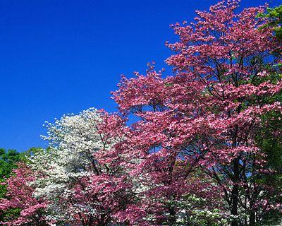 dogwood_trees