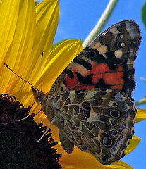 Butterflies are free - by Amy V. Miller