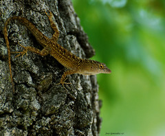 Get this side, my good side! LOL! (Jose Gonzalez (XAG)) Tags: nikon wildlife lizards naturesfinest xag nikkor70300mmvr diamondclassphotographer flickrdiamond excellentphotographersaward colourartaward fiveflickrfavs excapture