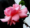 Rose (allegra_) Tags: flower nature rose spring allegra gtaggroup anawesomeshot
