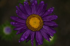 The morning sun (dukematthew2000) Tags: house flower macro purple soe linkping learing amazingshots diamondclassphotographer flickrdiamond