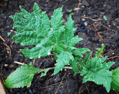 Artichoke Seedling