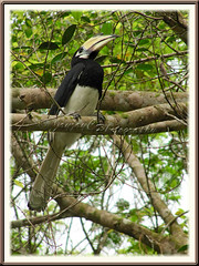 Oriental/Malaysian Pied Hornbill (Anthracoceros albirostris convexus)